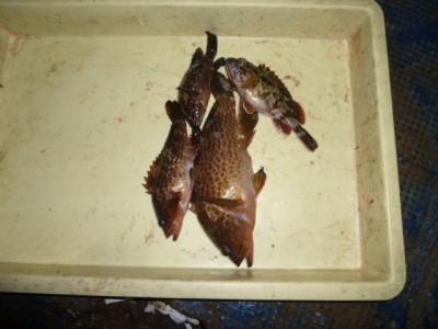 <p>貝塚市の津田様、沖の一文字北で、アコウ 28cmまで3匹・ガシラ 21㎝ 1匹</p> <p>ウキ釣り 餌シラサエビ</p>