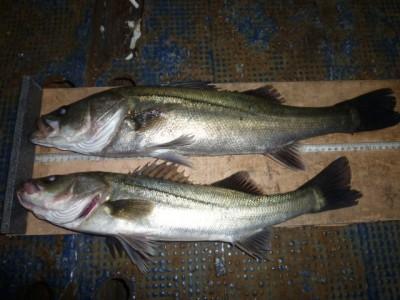 <p>堺市の岡田様、中波止3番で、ハネ 57㎝まで2匹</p> <p>ウキ釣り 餌シラサエビ</p>