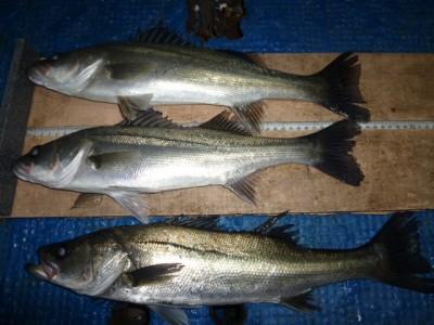 <p>堺市の岡田様、中波止3番で、ハネ 45cmまで 3匹</p> <p>ウキ釣り 餌シラサエビ</p>