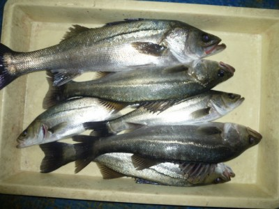 <p>貝塚市の津田様、中波止3番で、ハネ 54㎝まで6匹</p> <p>ウキ釣り 餌シラサエビ</p>