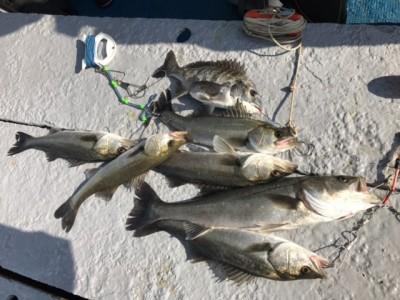 <p>泉州ハネ釣り研究会様、旧一文字赤・白灯、中波止で</p> <p>ハネ60㎝まで10匹・チヌ1匹</p> <p>エビ撒き釣り</p>