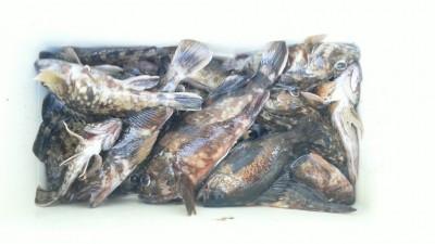<p>岸和田市の稲村様、沖の一文字白灯で、ガシラ 18匹・メバル 1匹</p> <p>ズボ釣り 餌シラサエビ</p>
