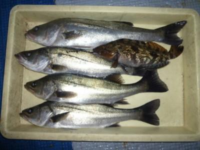 <p>堺市の岡田様、中波止2番で、ハネ 53㎝まで4匹・アブラメ 31㎝ 1匹</p> <p>ウキ釣り 餌シラサエビ</p>