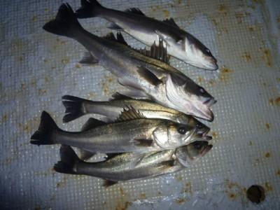 <p>泉佐野市の岡田様、中波止3番で、ハネ 55cmまで5匹</p> <p>ウキ釣り 餌シラサエビ</p>
