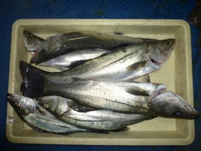 <p>貝塚市の津田様、中波止3番で、ハネ 59㎝まで6匹</p> <p>ウキ釣り 餌シラサエビ</p>