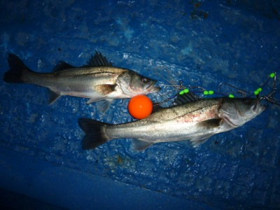 <p>吹田市の佐々木様、中波止2番で、ハネ 49㎝まで2匹</p> <p>ウキ釣り 餌シラサエビ</p>