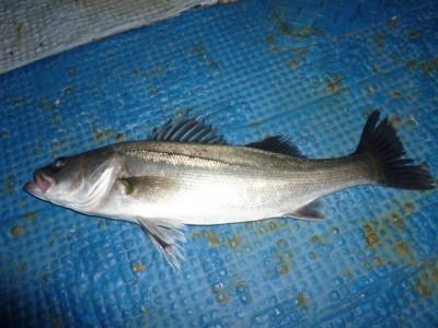 <p>堺市の岡田様、旧の一文字3番で、ハネ 40cm 1匹</p> <p>ウキ釣り 餌シラサエビ</p>