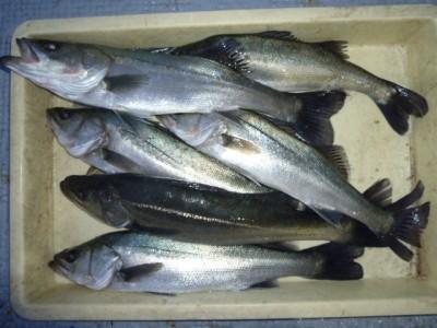 <p>堺市の岡田様、沖の一文字北で、ハネ 49㎝まで6匹</p> <p>ウキ釣り 餌シラサエビ</p>