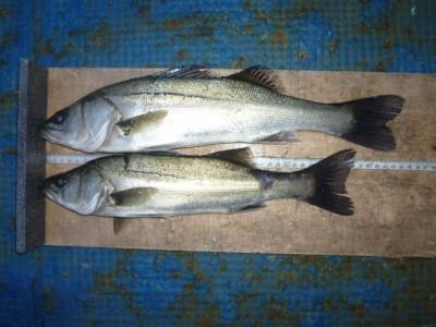 <p>泉佐野市の岡田様、中波止3番で、ハネ 44㎝まで2匹</p> <p>ウキ釣り 餌シラサエビ</p>