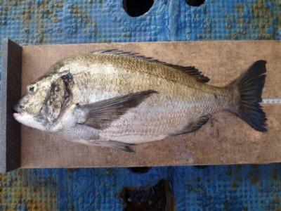 <p>河内長野市の原様、旧の一文字白灯で、チヌ 47㎝ 1匹</p> <p>フカセ釣り 餌オキアミ</p>