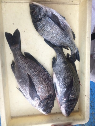<p>泉大津市の山下様、沖の一文字白灯で、チヌ 34~42㎝まで3匹</p> <p>紀州釣り 餌オキアミ</p>