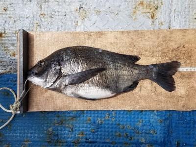 <p>門真市の濱本様、沖の一文字北で、チヌ 42.5㎝ 1匹</p> <p>ウキ釣り 餌シラサエビ</p>
