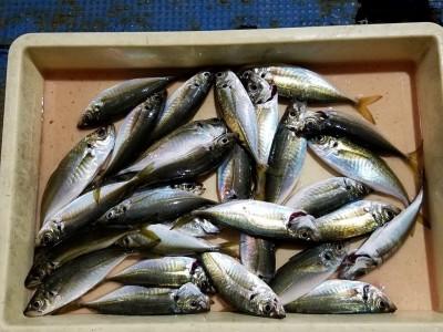 <p>貝塚市の津田様、沖の一文字白灯で、アジ 23センチまで30匹</p> <p>サビキ 餌アミエビ</p>