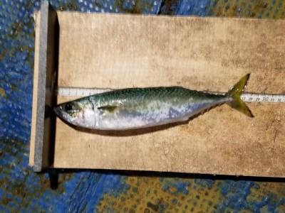 <p>貝塚市の津田様、沖の一文字白灯で、サバ 29cm 1匹</p> <p>サビキ 餌アミエビ</p>
