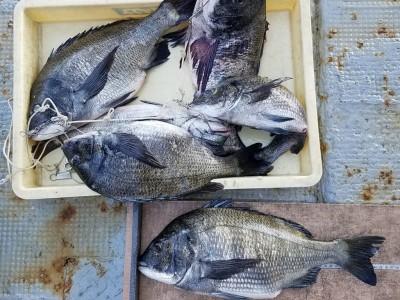 <p>岸和田市の安達様、沖の一文字白灯で、チヌ 47cmまで6匹</p> <p>フカセ釣り 餌オキアミ</p>