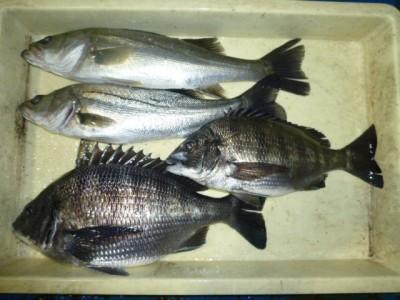 <p>堺市の岡田様、旧の一文字赤灯で、ハネ 40~43㎝まで2匹・チヌ 33~38cmまで2匹</p> <p>ウキ釣り 餌シラサエビ</p>