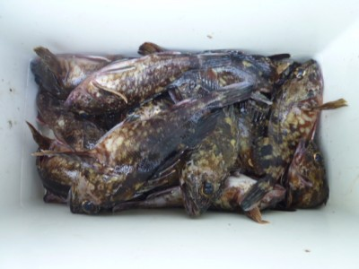 <p>岸和田市の稲村様、沖の一文字白灯で、ガシラ 23㎝まで32匹</p> <p>胴突き 餌シラサエビ</p>