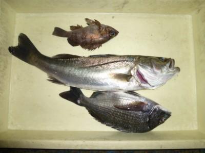 <p>貝塚市の津田様、沖の一文字白灯で、メバル 18㎝ 1匹</p> <p>ウキ釣り 餌シラサエビ</p>