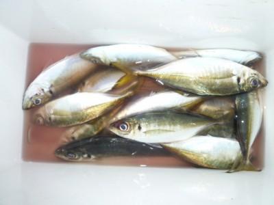 <p>堺市の吉住様、沖の一文字白灯で、アジ 23㎝まで15匹</p> <p>サビキ釣り 餌アミエビ</p> <p>夕方5時から入れ食いです!!</p>