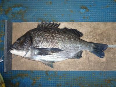 <p>岸和田市の植田様、旧の一文字で、チヌ 44cmまで2匹</p> <p>落とし込み 餌カニ</p>