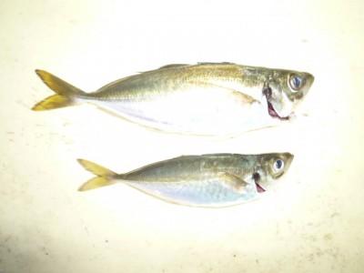 <p>岸和田市の白田様、沖の一文字北で、アジ 26cmまで2匹</p> <p>サビキ 餌アミエビ</p>