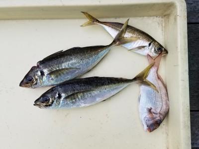 <p>大阪市の大西様、沖の一文字北で、アジ 28.5cmまで3匹・チャリコ 1匹</p> <p>サビキ釣り 餌アミエビ</p>