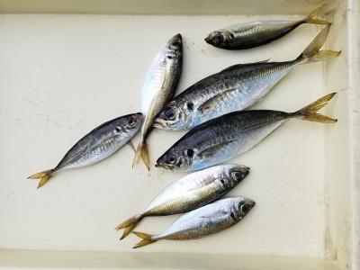 <p>大阪狭山市の柴田様、沖の一文字北で、アジ 28cmまで7匹</p> <p>サビキ釣り 餌アミエビ</p>