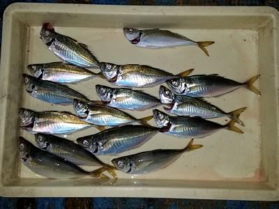<p>岸和田市の田所様、沖の一文字北で、アジ 25cmまで15匹</p> <p>サビキ釣り 餌アミエビ</p>
