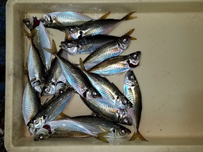 <p>貝塚市の津田様、旧の一文字赤灯で、アジ 23cmまで17匹</p> <p>サビキ釣り 餌アミエビ</p>