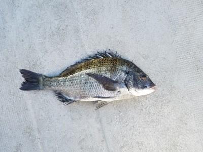 <p>黒糠会の徳井様、沖の一文字白灯で、チヌ 40cm 1匹</p> <p>紀州釣り 餌オキアミ</p>