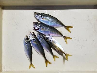<p>貝塚市の津田様、旧の一文字赤灯で、アジ 23cmまで6匹</p> <p>サビキ釣り 餌アミエビ</p>