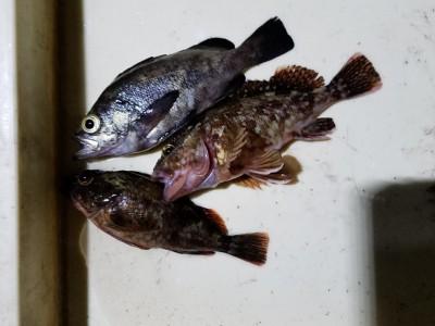 <p>堺市の善ちゃん、沖の一文字白灯で、ガシラ 19cmまで2匹・メバル 19cm 1匹</p> <p>ウキ釣り 餌シラサエビ</p>