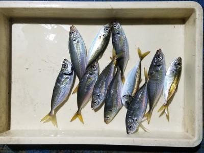 <p>堺市の吉住様、旧の一文字赤灯で、アジ 23cmまで11匹</p> <p>サビキ釣り 餌アミエビ</p>