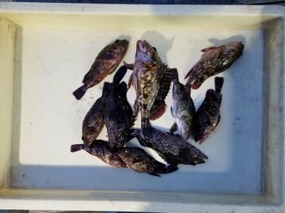 <p>泉佐野市のヒロセマン、旧の一文字赤灯で、ガシラ 19cmまで10匹・リリース多数</p> <p>ウキ釣り 餌シラサエビ</p>