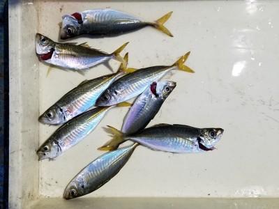 <p>貝塚市の津田様、旧の一文字赤灯で、アジ 21cmまで8匹</p> <p>サビキ釣り 餌アミエビ</p>