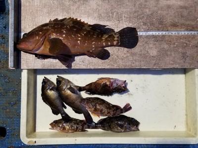 <p>泉佐野市のヒロセマン、沖の一文字白灯で、アコウ 38cm 1匹・ガシラ 19cmまで4匹・メバル 20cmまで2匹</p> <p>ウキ釣り 餌シラサエビ</p>