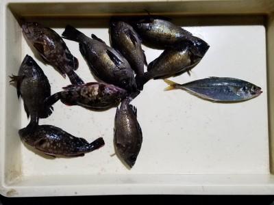 <p>泉佐野市のヒロセマン、沖の一文字北で、メバル 20cmまで6匹・ガシラ 19cmまで2匹・アジ 21cm 1匹</p> <p>ウキ釣り 餌シラサエビ</p>