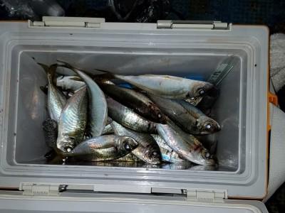 <p>柏原市の村田様、沖の一文字北で、アジ 24cmまで80匹</p> <p>サビキ釣り 餌アミエビ</p>