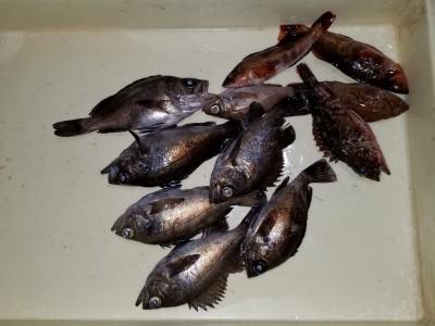 <p>貝塚市の津田様、沖の一文字北で、メバル 19cmまで7匹</p> <p>ウキ釣り 餌シラサエビ</p>