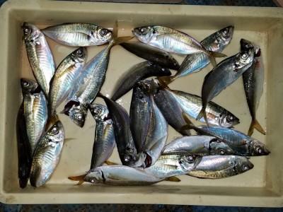 <p>貝塚市の津田様、沖の一文字北で、アジ 23cmまで24匹</p> <p>サビキ釣り 餌アミエビ</p>