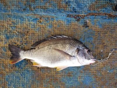 <p>八尾市の杉本様、沖の一文字北で、キビレ 42cm 1匹</p> <p>紀州釣り 餌コーン・オキアミボイル</p>