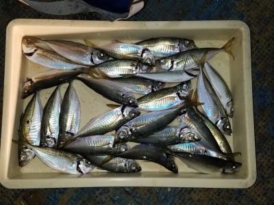 <p>岸和田市の白田様、沖の一文字北で、アジ 24.5cmまで27匹</p> <p>サビキ釣り 餌アミエビ</p>