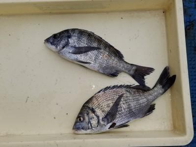 <p>黒糠会の徳井様、旧の一文字カーブで、チヌ 35cmまで2匹</p> <p>紀州釣り 餌オキアミ</p>