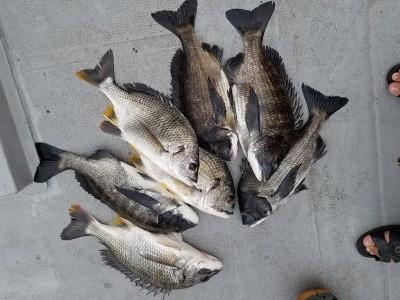 <p>岸和田市の礒田様、沖の一文字北で、チヌ・キビレ 47cmまで13匹</p> <p>落とし込み 餌イガイ</p>
