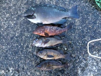 <p>泉佐野市の岡田様、沖の一文字北で、グレ 30cm 1匹・アコウ 24cm 1匹・メバル 19cmまで3匹</p> <p>ウキ釣り 餌シラサエビ</p>