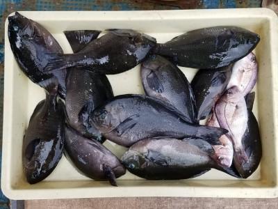 <p>奈良市の井澤様、沖の一文字北で、グレ 30cmまで11匹・チャリコ 3匹</p> <p>フカセ釣り 餌オキアミ</p>