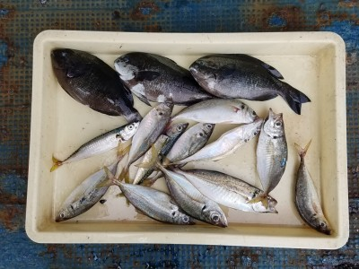 <p>東大阪市の山本様、沖の一文字北で、グレ 26cmまで3匹・アジ 25cmまで10匹</p> <p>フカセ釣り 餌オキアミ</p>