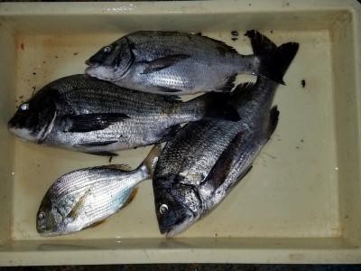 <p>堺市の奥田様、沖の一文字北で、ヘダイ 24cm 1匹・チヌ 39cmまで3匹</p> <p>落とし込み 餌イガイ</p>