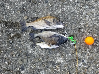 <p>黒糠会の光星くん、旧の一文字赤灯で、チヌ 40cmまで3匹</p> <p>紀州釣り 餌オキアミ</p>