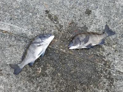 <p>黒糠会の徳井様、旧の一文字白灯で、チヌ 42cmまで2匹</p> <p>紀州釣り 餌オキアミ</p>